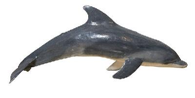 Tursiops truncatus delfin mular