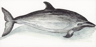 delfin listado Stenella coeruleoalba