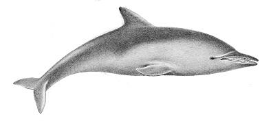 delfin Steno bredanensis