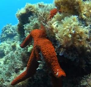 estrella de mar tenerife